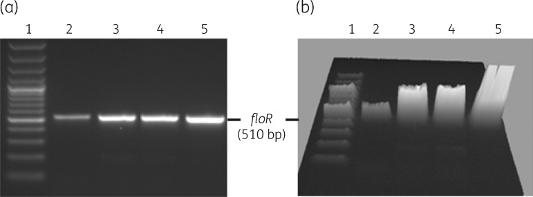 Expression of floR in MIDG3553 (lanes 2 and 3) and MIDG3446 (lanes 4 and 5) as determined by RT–PCR amplification of a 510 bp sequence. Lanes 2 and 4 show results for samples grown in broth without chloramphenicol and lanes 3 and 5 show results for samples grown in broth with 2 mg/L chloramphenicol. Lane 1, 100 bp Plus DNA ladder (Invitrogen). (a) Normal 2D gel image. (b) Gel image shown in 3D.