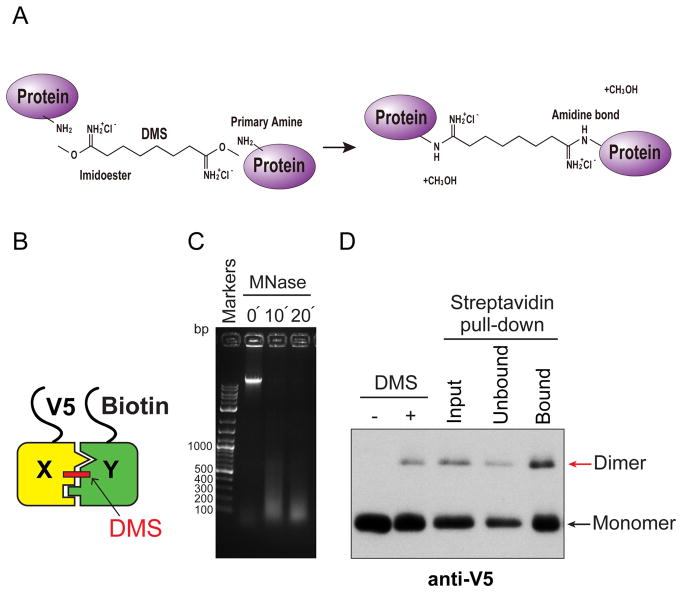 Biochemical validation of asymmetric nucleosome formation in vivo A. Chemistry of DMS cross-linking. DMS reacts with primary amines of proteins to form amidine bonds. B. Schematic for DMS crosslink of H3X and H3Y heterodimer. Yeast strains expressed V5-tagged H3X and Biotin-tagged H3Y, as indicated. C. DNA samples purified from MNase-digested chromatin from each time point (0, 10, 20 min) were analyzed by electrophoresis on a 1.5% TAE agarose gel, and stained with ethidium bromide. Note that after DMS crosslinking, the MNase-digested DNA fragments do not display the characteristic polynucleosomal ladder of uncrosslinked chromatin. D. Immunoblot analysis of V5-H3X and biotin-H3Y interactions. The left two lanes show total uncrosslinked and DMS-crosslinked chromatin, and right lanes show MNase-digested chromatin (Input), flow through fraction (Unbound) and streptavidin-precipitated biotinylated-H3 (Bound). Samples were separated by 17% SDS-PAGE, transferred to a membrane, and probed with anti-V5 antibody.