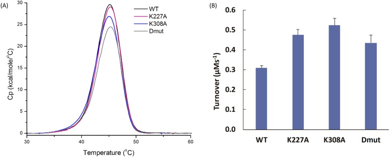 Normalized specific heat (Cp) endotherms and PPIase enzyme activity. (a) Normalised specific heat capacity (Cp) endotherms measured by Differential Scanning Calorimetry (DSC) for WTCyp40, K227ACyp40, K308ACyp40, and K227A/K308ACyp40. DSC endotherms for the melting of WTCyp40 (black), K227ACyp40 (magenta), K308ACyp40 (blue), and K227A/K308ACyp40 (gray) show mutating lysine 227 and lysine 308 reduces the enthalpy of unfolding of Cyp40. The calorimetric enthalpy, ΔH, corresponds to the area under the curve. Contributions of site point mutants to the enthalpy of unfolding are additive (see Table II for values). Samples were scanned from 5 to 85 °C at a scan rate of 60 °C/h after a 5-min pre-scan equilibration in 50 mM HEPES, pH8, 150 mM sodium chloride, and 1 mM DTT. Data were baseline corrected by subtracting a buffer scan collected under the same conditions as the protein samples and normalized with respect to protein concentration. Thermodynamic parameters were determined using the software provided by the manufacturer (Origin, 7.0). All data were collected in triplicate. (b) Mutation of lysine 227 and lysine 308 enhance PPIase enzyme activity. Comparison of the biochemical activity of WTCyp40, K227ACyp40, K308ACyp40, and K227A/K308ACyp40. Cyp40 catalyses the cis-trans isomerisation of the tetrapeptide peptide substrate s-ALPF- p -nitroaniline. Mutating lysine 227 and lysine 308 enhances the activity of Cyp40. The final solution contained 20 nM Cyp40; 0.6 mg ml −1 α-chymotrypsin; 120 μ M s-ALPF- p -nitroaniline; 50 mM HEPES, pH8; 100 mM sodium chloride 14 μ M lithium chloride; 1 mM DTT; 0.5 mM EDTA; 3% 2,2,2-trifluoroethanol (v/v). Enzyme catalysed turnover has been corrected for the thermal turnover of the substrate. Data represent the mean of 6 replicates with the standard error.