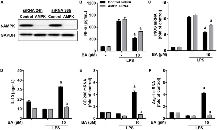 Knockdown of AMPK by siRNA attenuated BA-mediated microglia polarization in BV-2 microglial cells. Cells were first transfected with 40 nM AMPKα siRNA for 24 h, and then treated with BA for 1 h, followed by exposure to LPS stimulation for 6 or 24 h. (A) Transfection for 24 h was able to decrease the expression of AMPKα protein. (B,C) AMPKα knockdown decreased BA-mediated inhibition of TNF-α production, and mRNA expression of TNF-α and iNOS in LPS-stimulated BV-2 cells. (D–F) AMPKα knockdown attenuated BA-enhanced IL-10 release and mRNA expression of CD206 and Arg-1. Data are presented as means ± SEM of three independent experiments in triplicate. Control group was that treated with control siRNA but not BA or LPS. Two columns sharing the same letter are significantly different ( P