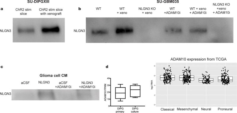 NLGN3 shedding from glioma cells is regulated by NLGN3 exposure and is mediated by ADAM10 a , NLGN3 Western blot illustrating neuroligin-3 secreted into CM from optogenetically stimulated Thy1::ChR2 ; NSG cortical slices (ChR2 stim slice) or SU-DIPGXIII xenograft-bearing Thy1::ChR2 ; NSG cortical slices (ChR2 stim slice with xenograft). Performed in biological duplicate. b , NLGN3 western blot illustrating neuroligin-3 secreted into CM from wild type brain slices (WT), WT brain slices bearing xenografts of adult GBM SU-GBM035 (WT + xeno), or from Nlgn3 knockout brains bearing SU-GBM035 xenografts (Nlgn3 KO + xeno) in the absence (left 3 lanes) or presence (right 3 lanes) of 200 nM ADAM10 inhibitor GI254023X (+ADAM10i). Performed in biological triplicate. c , NLGN3 Western illustrating glioma cell secretion of NLGN3 in vitro at baseline medium conditions (aCSF), following exposure to recombinant NLGN3 with subsequent washing (NLGN3), at baseline medium conditions in the presence of ADAM10 inhibitor GI254023X (aCSF + ADAM10i) or following NLGN3 exposure in the presence of ADAM10 inhibitor (NLGN3+ADAM10i). Performed in biological triplicate. d , mRNA expression levels of ADAM10 in primary tumor and cultures of DIPG by RNA-seq with values reported as FPKM 12 , 28 (left; n =8 primary samples, n =7 culture samples) and in 493 individual adult glioblastoma samples from TCGA 29 (right). Values are reported as robust multi-array averages (RMA; right). Boxes show the median, 25th and 75th percentiles, error bars show the minima and maxima.