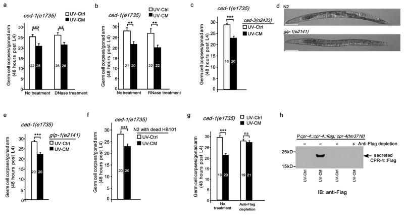Characterization of the nature and the source of the RIBE factors a, b, Treatment of UV-CM and UV-Ctrl collected from N2 animals irradiated at 100 J/m 2 with <t>RNase</t> (1μg/μL) or <t>DNase</t> (0.01 Unit/μL) did not alter the apoptosis-inhibitory effect on ced-1(e1735) animals (Methods). Germ cell corpses were scored after 48-hour treatment of ced-1(e1735) L4 larvae. c, e, f, g, ced-1(e1735) L4 larvae were treated with UV-CM and UV-control (0.1 μg/μL) prepared from ced-3(n2433) animals ( c ), glp-1(e2141ts) animals grown at 25°C ( e ), N2 animals fed with formaldehyde-treated HB101 bacteria ( f ), and P cpr-4::cpr-4::flag; cpr-4(tm3718) animals with or without anti-Flag depletion ( g ), respectively. Data are mean ± s.e.m. The numbers of gonad arms scored are indicated inside the bars ( a–c, e–g ). ** P