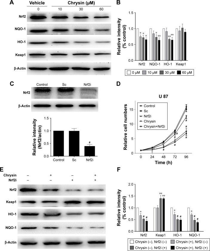 Chrysin deactivates Nrf2 signaling pathway in a Keap1-independent manner. ( A and B ) The relative protein levels of chrysin-treated cells were expressed compared with the vehicle-treated group. ( C ) Cells were processed with shRNA (Sc) or Nrf2 shRNA (Nrf2i). Reduced expression of Nrf2 was observed after exposure to Nrf2 shRNA. ( E and F ) Chrysin was unable to change protein levels of Nrf2 and Nrf2-target genes in U87 cells with Nrf2 knockdown. The cells were pretreated with Nrf2 shRNA (Nrf2i), followed by chrysin treatment for 24 hours. ( D ) Nrf2 knockdown decreased the sensitivity of cells to chrysin. Relative cell numbers were monitored by a CCK-8 assay. The seeded cells were adjusted to the value of 1. Data are expressed as mean ± SD (n=4). * p