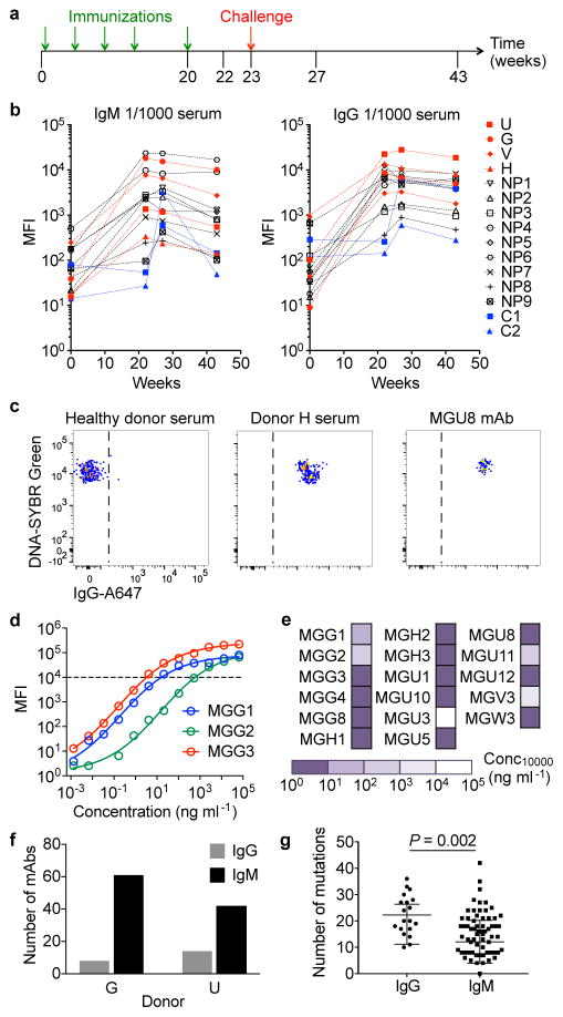 Immunization with PfSPZ Vaccine induces robust antibody responses in malaria-exposed individuals a, Protocol of PfSPZ immunization of Tanzanian adults. b, Binding of serum IgM and IgG antibodies to PfSPZ. Median fluorescence intensity (MFI) values are for binding at a 1/1000 serum dilution (representative of n=2 independent experiments). Samples in red, black and blue are from protected (U, G, V, H), non-protected (NP) and placebo (C) volunteers, respectively. Results for donor W are not shown as this donor was immunized with a lower dose of PfSPZ. c, Staining of PfSPZ by serum from a European blood donor, serum from a protected individual (donor H) and a monoclonal antibody (MGU8) (representative of n=3 independent experiments). d, Dose-dependent binding of three representative antibodies to PfSPZ measured by flow cytometry (representative of n=2 independent experiments). e, Binding values of the panel of IgG monoclonal antibodies to PfSPZ (representative of n=2 independent experiments). The values indicate the concentration of antibody required to reach a 10,000 MFI. f, Number of PfSPZ-binding IgG and IgM monoclonal antibodies isolated from protected donors G and U. g, Number of mutations in the heavy chains of IgG (n=19 antibodies) and IgM (n=65 antibodies) isolated from the Tanzanian volunteers. These values were calculated by adding the number of VH and JH mutations. Results are shown as mean ± s.d.. A two-sided t-test was used to compare the number of mutations.