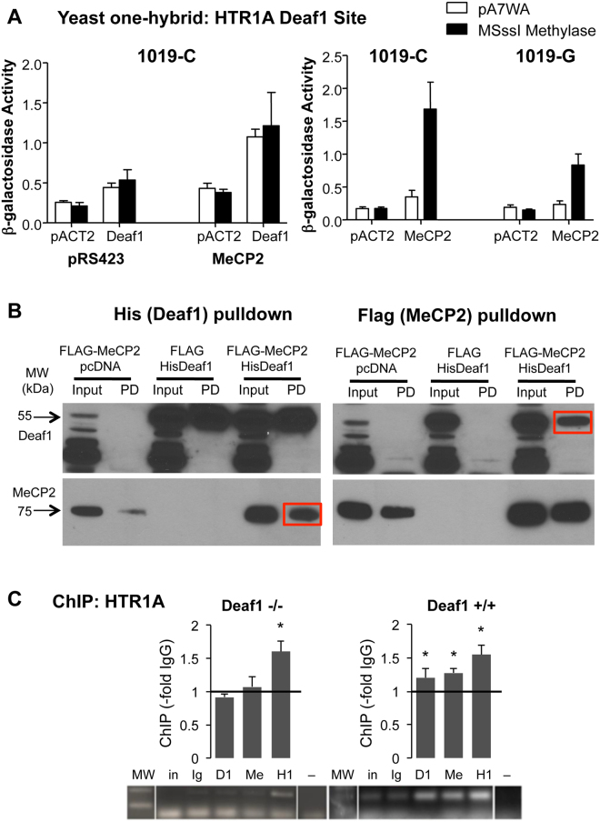 <t>Deaf1-MeCP2</t> interaction enhances their recruitment to the HTR1A promoter Deaf1 site. ( A ) MeCP2 increases Deaf1 transactivation of the human HTR1A C(-1019) site independent of promoter methylation. At left, yeast were transduced with a combination of Deaf1-GAL4AD or vector (pACT2), MSssI or vector (pA7WA), and MeCP2 or vector (pRS423) and the β-Gal gene fused to three copies of the human 5-HT1A 26 bp Deaf1 site with the C (1019-C) in the p8op vector. The level of β-galactosidase activity is shown as a measure of transactivation. At right, yeast were transduced with a combination of MeCP2-GAL4AD or vector (pACT2), MSssI or vector, and either the C or G allele of the HTR1A Deaf1 element (1019-C or 1019-G). Data shown as mean ± S.E., n = 3. ( B ) His-Deaf1 and <t>Flag-MeCP2</t> co-precipitate in co-transfected human SKN-SH neuroblastoma cells. His-Deaf1, FLAG-MeCP2 or FLAG-vector were co-transfected in HEK-293 cells and cell extracts (Input) analyzed by pull-down (PD) followed by Western blot for Deaf1 or FLAG (MeCP2). Left, FLAG-MeCP2 but not FLAG was enriched upon of His-Deaf1; right, His-Deaf1 was enriched upon pull-down of FLAG (red boxes). ( C ) Deaf1 recruits MeCP2 to the Deaf1 sites on the mouse HTR1A promoter. Deaf1 −/− and +/+ MEF extracts were analyzed by ChIP using pull-down with pre-immune rabbit IgG (Ig), n = 8; Deaf1 antibody (D1), n = 8; MeCP2 antibody (Me), n = 4; or histone H1 antibody (H1), n = 4. PCRs of precipitated DNA were run on 2% agarose gel. Above, HTR1A promoter ChIP. The mean total luminosity within a standard band template was quantified and normalized to the appropriate pre-immune IgG and plotted as –fold IgG ± SE, *p