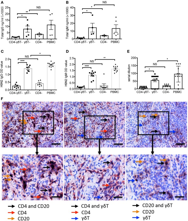 Vγ9Vδ2-T cells increased H9N2 virus-specific IgG and IgM productions in vivo . Specific immune cells-depleted and whole peripheral blood mononuclear cells (PBMC)-humanized mice were vaccinated with UV-inactivated H9N2 virus through i.p. pathway on day 0 and 7. Serum was collected on day 21 post the first vaccination. (A,B) Total IgG and IgM in serum (C,D) H9N2 virus-specific IgG and IgM in serum that treated with receptor destroyed enzyme (RDE) were determined by enzyme-linked immunosorbent assay. (E) H9N2-specific antibodies in serum that treated with RDE were determined by hemagglutination inhibition assay. The data shown were the represent of four independent experiments. (F) Representative histological analysis, immunohistological stainings for human CD4 T, B, and γδ-T cells in formalin-fixed paraffin-embedded spleen in humanized mice constructed with whole PBMCs after UV-H9N2 virus immunization. Scale bars = 100 μm. Bottom panels showed the higher-magnification views of the respective boxed areas in the top panels. Scale bars = 50 μm. The data shown are the mean ± SEM. * p