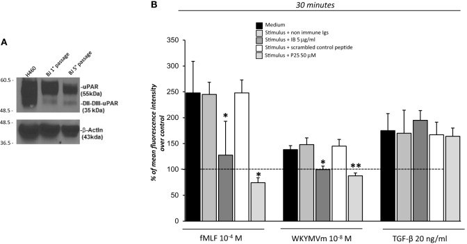 Effects of the inhibition of the cross-talk between FPRs-uPAR-Integrins on reactive oxygen species (ROS) induction in BJ cells.  (A)  Western blot analysis of uPAR expression in H460 cell line as a positive control (lane 1), BJ cells at first passage (lane 2) and fifth passage (lane 3) in culture with the R4 anti-uPAR mAb and with an anti-β-actin Ab, as a loading control.  (B)  BJ cells were plated in a 96-well plate and treated with DCHF-DA. At the end of incubation, cells were treated with medium alone,  N -formyl- l -methionyl- l -leucyl- l -phenylalanine (fMLF), WKYMVm or TGF-β in the absence (black columns) or in the presence of nonimmune immunoglobulins (medium gray columns), IB antibody (dark gray columns), scrambled control peptide (Scp) (white columns), and P25 peptide (light gray columns). ROS release was measured as dichlorofluorescein (DCF) fluorescence at 30min. Results are expressed as a percentage of increase of mean fluorescence intensity of stimulated DCHF-DA-loaded cells in respect to unstimulated DCHF-DA-loaded cells (considered as 100%). Values are the mean±SEM of three experiments performed in triplicate. * p