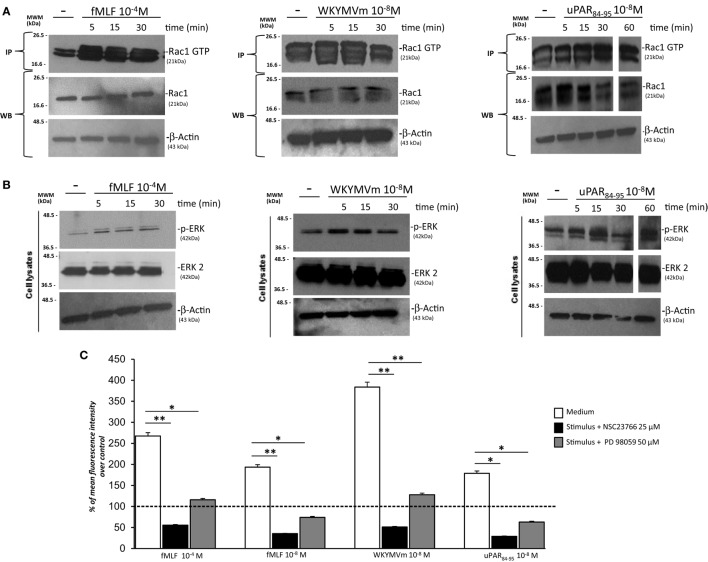 FPRs-mediated Rac1 and ERK activation in BJ cells. (A) BJ cells, treated with medium alone (-), N -formyl- l -methionyl- l -leucyl- l -phenylalanine (fMLF), WKYMVm peptide, or uPAR 84–95 peptide, were lysed and subjected to Rac1 activity assay using PAK-PBD-glutathione sepharose beads. Immunoprecipitates and the corresponding total lysates, as an input control, were subjected to Western blot analysis with an anti-Rac1-specific Ab and with an anti-β-actin Ab, as a loading control. (B) BJ cells, treated with medium alone, fMLF, WKYMV peptide, or uPAR 84–95 peptide were lysed and subjected to Western blot analysis with an anti phospho-ERK 1/2 (p-ERK)-specific Ab and then with anti ERK-2 and anti-β-actin Abs, as a loading control. (C) BJ cells were plated in a 96-well plate and treated with DCHF-DA. At the end of incubation, cells were treated with fMLF, WKYMVm peptide, and uPAR 84–95 peptide in the absence (white columns) or in the presence of NSC23766 (black columns) or PD98059 (gray columns). ROS release was measured as dichlorofluorescein (DCF) fluorescence intensity at 5 min. Results are expressed as a percentage of increase of mean fluorescence intensity of stimulated DCHF-DA-loaded cells in respect to unstimulated DCHF-DA-loaded cells (considered as 100%). Values are the mean ± SEM of three experiments performed in triplicate. * p