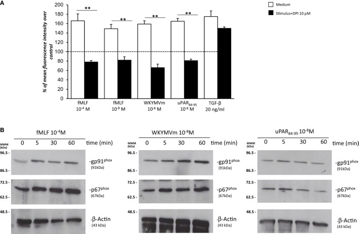 Effects of the NOX-inhibitor diphenyleneiodonium (DPI) on  N -formyl peptide receptor (FPR)-mediated reactive oxygen species (ROS) production and FPRs-induced modulation of gp91 phox  and p67 phox  expression in BJ cells.  (A)  BJ cells were plated in a 96-well plate and pretreated for 1h at 37°C with 10µM of the NOX-inhibitor DPI. At the end of incubation, cells were treated with  N -formyl- l -methionyl- l -leucyl- l -phenylalanine (fMLF), WKYMVm peptide, uPAR 84–95  peptide, or TGF-β. Results are expressed as percentage of increase of mean fluorescence intensity of stimulated DCHF-DA-loaded cells in respect to unstimulated DCHF-DA-loaded cells (considered as 100%). Values are the mean±SEM of three experiments performed in triplicate. ** p
