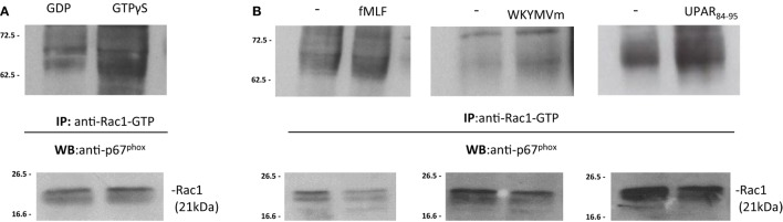 FPRs-mediated Rac1 GTP-p67 phox  interaction in BJ cells.  (A)  BJ cells lysates were treated with GDP and GTPγS (Upstate) to generate Rac1-GDP and Rac1-GTP, respectively. Rac1-GDP and Rac1-GTP containing lysates were precipitated using the p21-binding domain (PBD) of PAK1, bound to agarose beads. Eluted samples and the corresponding total lysates were subjected to Western blot analysis with a polyclonal anti-p67 phox  antibody and with anti-Rac1 antibody as a loading control, respectively.  (B)  BJ cells, after incubation with medium alone (-), N -formyl- l -methionyl- l -leucyl- l -phenylalanine (fMLF), WKYMVm peptide, for 5min, or uPAR 84–95  (10 −8 M) for 30min at 37°C in a humidified (5% CO 2 ) incubator, were lysed and subjected to Rac1 activity assay. Active Rac1 (Rac1-GTP) was precipitated from cell lysates using the PBD of PAK1, bound to agarose beads. Eluted samples and the corresponding total lysates were subjected to Western blot analysis with a polyclonal anti-p67 phox  antibody and with anti-Rac1 antibody as a loading control, respectively.