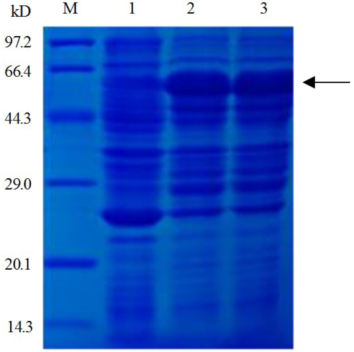 Expression of GST-VCAM-1 analysed by 12% SDS–PAGE. Lane1 – whole lysate of cells harbouring pGEX-4T-1-VCAM-1 without IPTG induction; Lanes 2 and 3 – whole lysate of cells harbouring pGEX-4T-1-VCAM-1 after IPTG induction