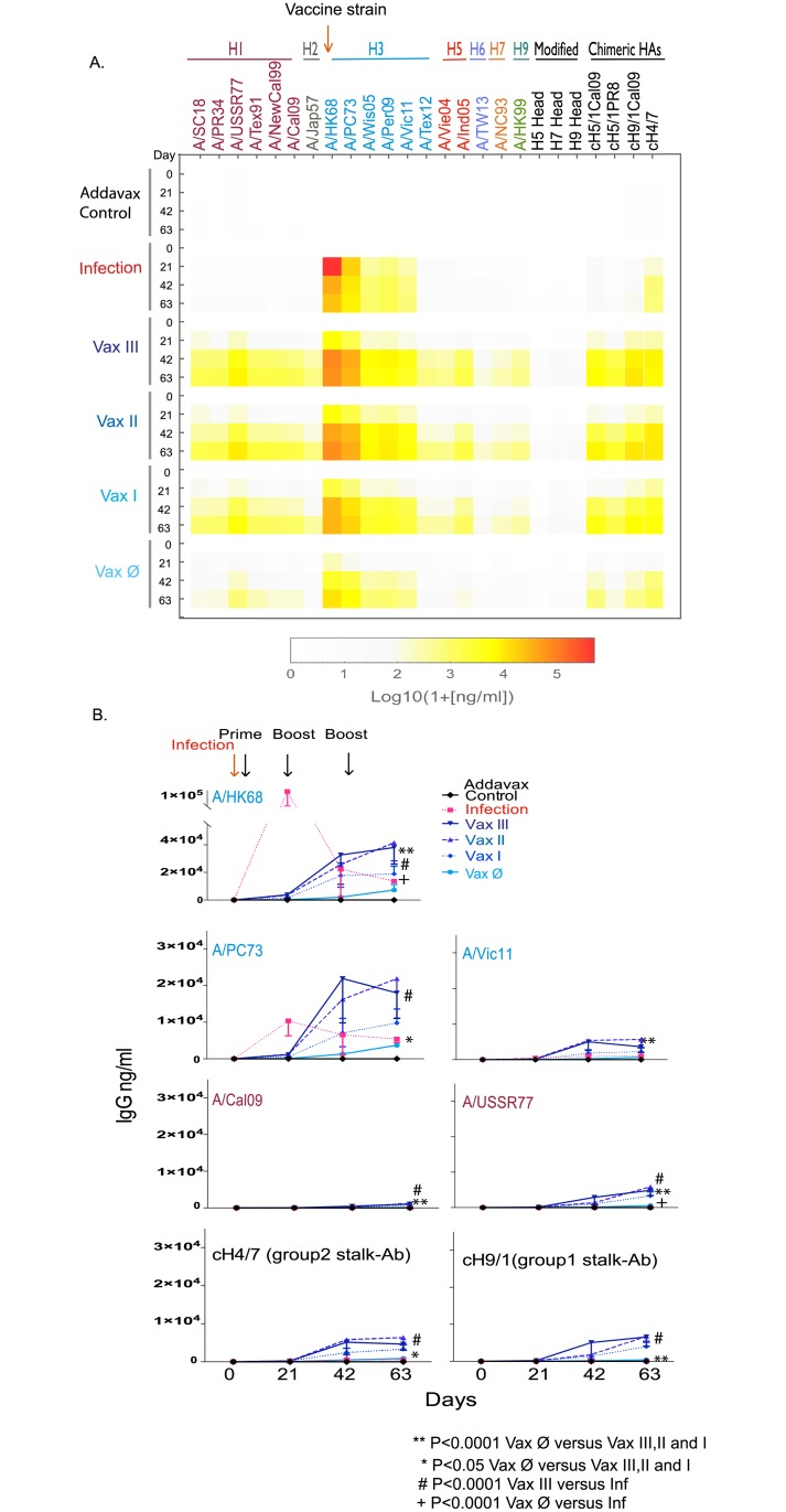 Broader cross-reactive antibody responses are induced by prime-boost-boost vaccination with Addavax adjuvanted rHA as compared to infection with A/Hong Kong/1/1968 (A/HK68 H3N2) influenza virus. ( A ). The rHA specific IgG concentrations of heterosubtypic and stalk-specific antibodies reaction induced by vaccination with adjuvant alone control, rHA combined with Addavax adjuvant (Vax I, II and III), rHA without adjuvant (Vax Ø), or infection (Inf) with A/HongKong/1/68 (H3N2) virus, were determined using a 29-panel mPlex-Flu assay, and represented as a heatmap. ( B ). The selected antibody responses against influenza virus HA of A/HK68 were plotted over time. The antibody concentrations (ng/mL) of individual HA were calculated from the standard curves generated in same assay. Serum of individual mice were harvested before priming, as well as before and post-boost 21 day. The specific antibody concentration of IgG is shown as the mean ± standard deviations (STD) of the mean of individual mice (n = 6). The two-way analysis of variance (ANOVA) statistical analysis was conducted including experimental group and time as factors. ** p