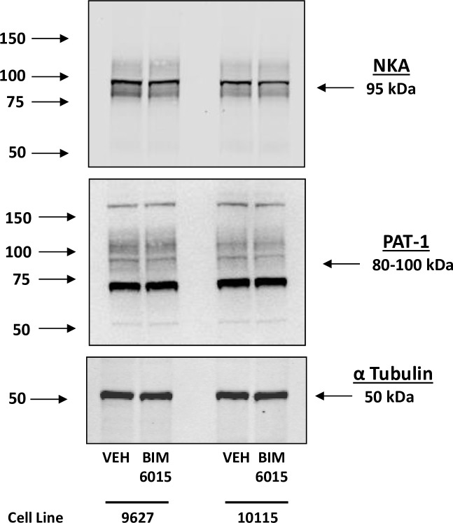 The effect of BI6015 on the expression of Na + ,K + /ATPase (NKA) and the putative anion transporter type 1 (PAT-1). Compared to vehicle control (VEH), neither NKA nor PAT-1 is affected by the addition of the HNF4A inhibitor BI6015. α tubulin was used as a protein loading control.