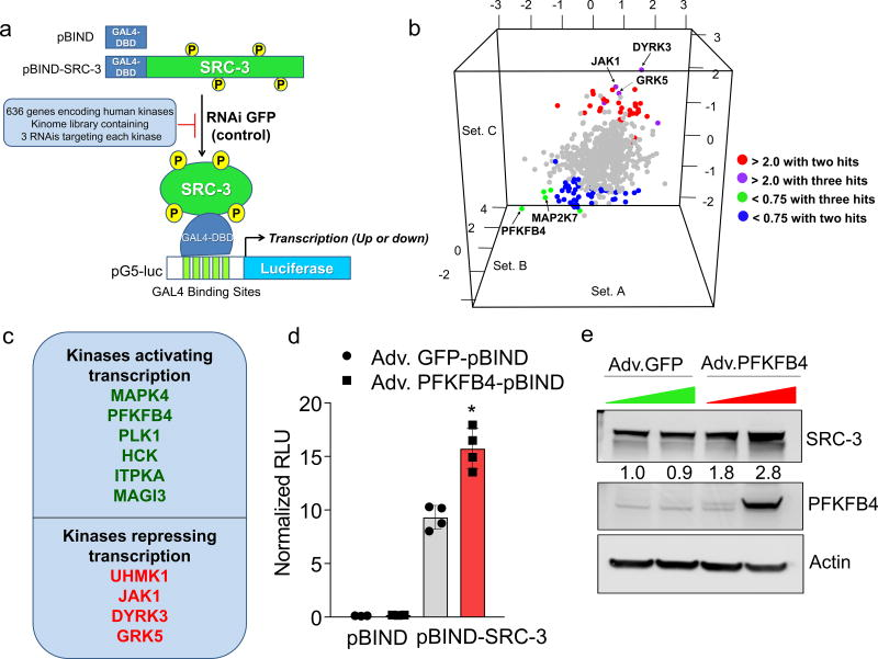PFKFB4 is an essential activator of transcriptional coregulator SRC-3 a , Schematics showing the RNAi kinome library screening with SRC-3 transcriptional activity assay using GAL4 DNA binding site-luciferase reporter (pG5-luc) along with GAL4-DNA binding domain (DBD)-full-length SRC-3 fusion (pBIND-SRC-3) or control pBIND as readout. b , Log 2 fold change in SRC-3 activity with three siRNAs/kinase represented as Set A, Set B and Set C in the 3D plot ( n =3, biologically independent samples targeted by siRNAs). Suppression of kinases increasing SRC-3 activity with 2/3 siRNAs (red) or 3/3 siRNAs (purple), and reducing SRC-3 activity with 3/3 siRNAs (green) or 2/3 (blue). c , Kinases scoring reproducibly in modulating SRC-3 activity. d , SRC-3 activity in MCF-7 cells transduced with adv. GFP or PFKFB4 and co-transfected with pBIND ( n =3) or pBIND-SRC-3 ( n =4). [Mean ± s.d., one-way ANOVA with Tukey's Multiple comparisons test]. g , Protein expression of SRC-3, PFKFB4 and actin in MCF-7 cells overexpressing PFKFB4 or control-GFP. For exact P -values please refer to source data, and n represents biologically independent samples.