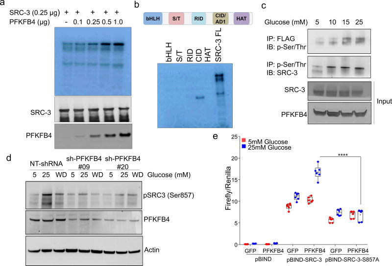 PFKFB4 phosphorylates SRC-3 by functioning as a protein kinase a , Upper panel-Recombinant GST-fused PFKFB4 incubated with full-length SRC-3 (SRC-3 FL) in presence of [ 32 P]ATP in an in vitro kinase assay. Lower panels- SRC-3 and PFKFB4 protein levels were analyzed by immunoblotting. b , In vitro kinase assay of PFKFB4 in the presence of SRC-3 fragments expressing different domains or full length SRC-3-FL. c , HEK293T cells expressing Flag-tagged-SRC-3 and PFKFB4 cultured in different concentrations of glucose and immunoprecipitated by Flag or p-Ser/Thr antibodies followed by immunoblotting. d , MDA-MB-231 cells stably expressing shRNAs targeting PFKFB4 (sh-PFK#09 and sh-PFK#20) or control NT-shRNA grown in presence of 5mM, 25mM glucose or glucose withdrawn from cells grown in 25mM of glucose and replaced with 5mM (WD) for 6 hours. Protein levels of pSRC-3-S857, PFKFB4 and β-actin were detected by immunoblotting. e , HEK293T cells expressing pBIND, pBIND-SRC-3 or pBIND-SRC-3-S857A were transduced with Adv. GFP or PFKFB4, and cultured in 5mM or 25mM glucose followed by luciferase assay. [Boxes represent 25 th to 75 th percentile, line in the middle represents median, whiskers showing min to max all points, + indicates mean, n =6 biologically independent experiments; Two-way ANOVA with Tukey's Multiple comparisons test]. Data shown in (a–e) are representative of 3 biologically independent experiments with similar results. For exact P -values please refer to source data.