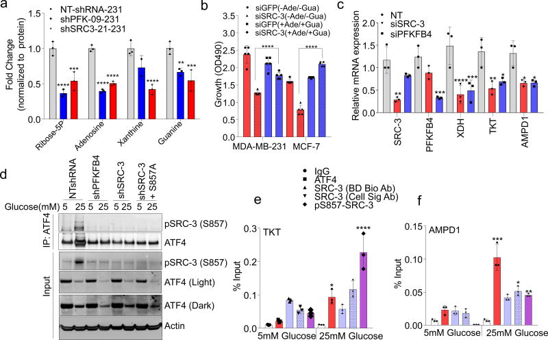 SRC-3 phosphorylation by PFKFB4 enhances gene expression of metabolic enzymes a , Relative levels of metabolites altered by sh-PFKFB4 or sh-SRC-3 compared to control shNT in MDA-MB231 cells. [Mean ± s.d., n =3 biologically independent samples; two-way ANOVA with Tukey's Multiple comparisons test] b , Relative proliferation of MDA-MB-231 and MCF-7 cells four days after treatment with siRNA-GFP (control) or SRC-3 under conditions indicated. [Mean ± s.d., n =5 biologically independent replicates; one-way ANOVA with Tukey's Multiple comparisons test]. c , Expression of metabolic enzymes TKT, XDH , and AMPD1 in MDA-MB-231 cells after treatment with siRNAs-GFP (control), PFKFB4, or SRC-3. [Mean ± s.d., n =3 biologically independent samples; one-way ANOVA with Tukey's Multiple comparisons test]. d , Immunoprecipitation of ATF4 from MDA-MB-231 cells grown in 5mM or 25mM glucose expressing shPFKFB4, shSRC-3, control- NTshRNA or expression of SRC-3-S857A in shSRC-3 cells. Levels of pSRC-3-S857 associated with ATF4 were detected by immunoblotting. IgG light chain-HRP was used to probe ATF4 in immunoblotting. e–g , Chromatin immunoprecipitation (ChIP) of ATF4, total SRC-3, and pSRC-3-S857 followed by qPCR from MDA-MB-231 cells treated with 5 mM or 25 mM glucose compared to an IgG isotype control. e , TKT . f , AMPD1 . [Mean ± s.d., n =3 biologically independent samples used for ChIP; one-way ANOVA with Tukey's multiple comparisons test compared to 5 mM glucose groups]. For exact P -values please refer to source data.