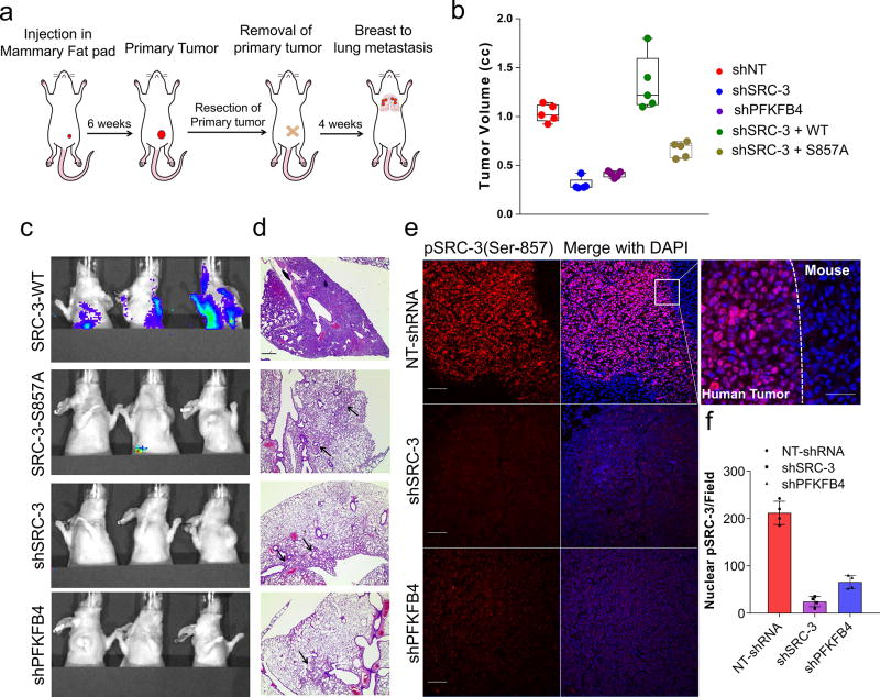 Activation of the PFKFB4-SRC-3 axis drives breast tumor primary growth and metastasis a–g , MDA-MB-231 cells stably expressing shSRC-3, shPFKFB4, or wildtype SRC-3 (WT-SRC-3) or the SRC-3 S857A mutant in the shSRC-3 cells were injected into nude female mice. a , Schematics of the in vivo orthotopic xenograft experiment. Tumor cells were injected in the mammary fat pad ( n =5 mice) and after six weeks primary tumors were resected out and animals were monitored by bioluminescence. b , Tumor volume. One-way ANOVA with Tukey's Multiple comparisons test. n =5 [Boxes represent 25 th to 75 th percentile, line in the middle represents median, whiskers showing min to max all points, + indicates mean.] c , Bioluminescence imaging of animals four weeks post-surgery. Representative images of three animals are shown from n =5 mice for SRC-3-WT, S857A, and shPFKFB4; and n =4 mice for shSRC-3. Residual or recurrence tumors at primary sites were masked with black paper to visualize lung lesions. d , Histology images showing lung sections stained with hematoxylin and eosin (H E). Arrows indicate micro metastasis lesions. Scale bar 100µm. Data shown are representative of four fields per slide from n =5 animals per group. e , Immunohistochemical (IHC) images from primary tumors demonstrating pSRC-3-S857 expression (red) co-stained with DAPI (blue). Scale bar: 100 µm. Magnified image in the box shows the tumor boundary as indicated by the dotted line. Scale bar: 200 µm. f , Quantification of nuclear-stained pSRC-3-S857 in each groups. Average of four fields per slide from n =5 mice per group. [Mean (center) ± s.d. (errors), One-way ANOVA with Dunnett's multiple comparisons test.]. For exact P -values please refer to source data.