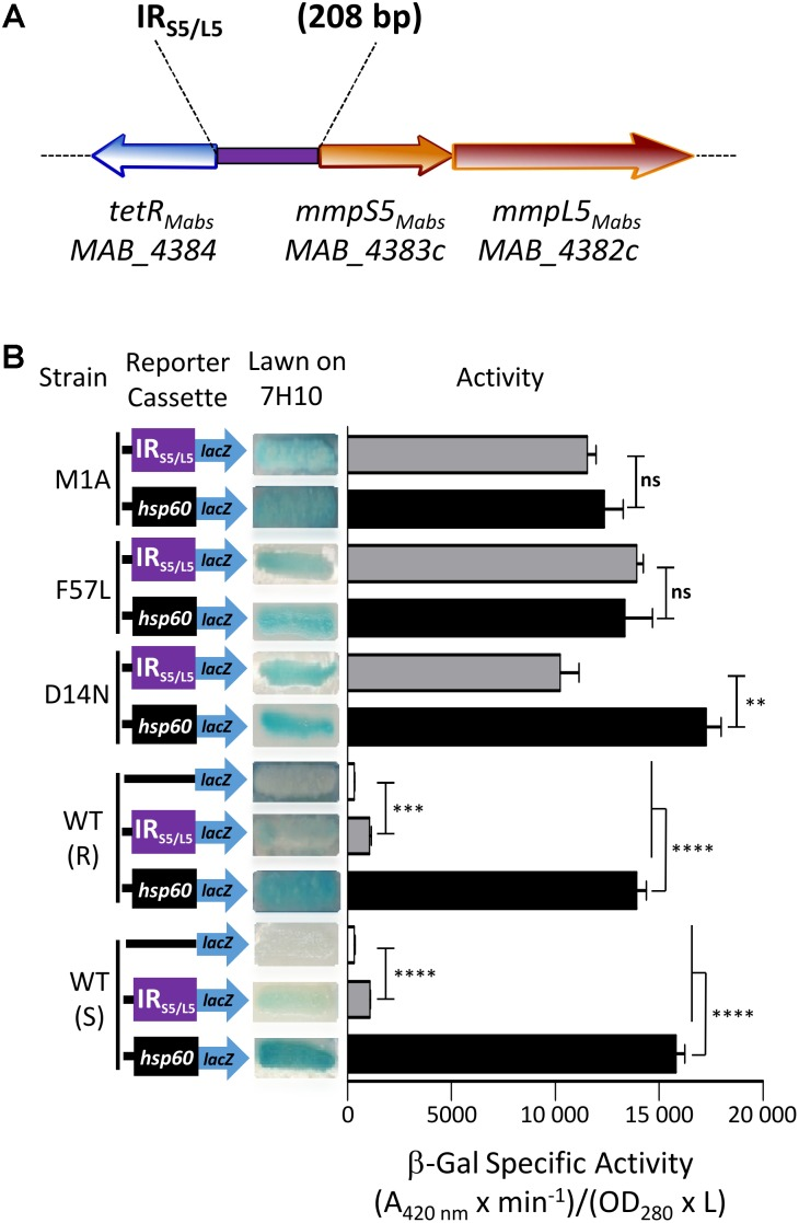 Identification of a MAB_4384-dependent regulatory promoter region in M. abscessus . (A) Schematic representation of the genome organization of MAB_4384 and the mmpS5/mmpL5 gene cluster in M. abscessus with the purple rectangle indicating the IR S5/L5 intergenic region cloned upstream of the lacZ reporter construct. (B) The effect of MAB_4384 on mmpS5/mmpL5 expression was assayed by constructing a plasmid with the lacZ reporter under control of IR S5/L5 . A positive control plasmid consisting of the constitutive expression of lacZ under the control of the hsp60 promoter and a negative control consisting of a promoter-less lacZ were also generated. All constructs were introduced into wild-type smooth (S) and rough (R) variants as well as into three different strains harboring single point mutations in MAB_4384 (M1A, D14N and F57L replacements). Exponentially growing M. abscessus cultures were streaked onto 7H10 plates containing 100 μg/mL kanamycin and 50 μg/mL X-gal. The plates were subsequently incubated for 3–4 days at 37°C and visualized for their appearance with respect to white-to-blue coloration. The β-galactosidase specific activity (SA β-Gal ) was quantified in liquid cultures using ONPG as a substrate. Results were obtained from three independent experiments and the error bars represent standard deviation. The capped lines indicate the groups compared. For statistical analysis, the Student's t -test was applied with ns, ∗∗ , ∗∗∗ , ∗∗∗∗ indicating non-significant, p