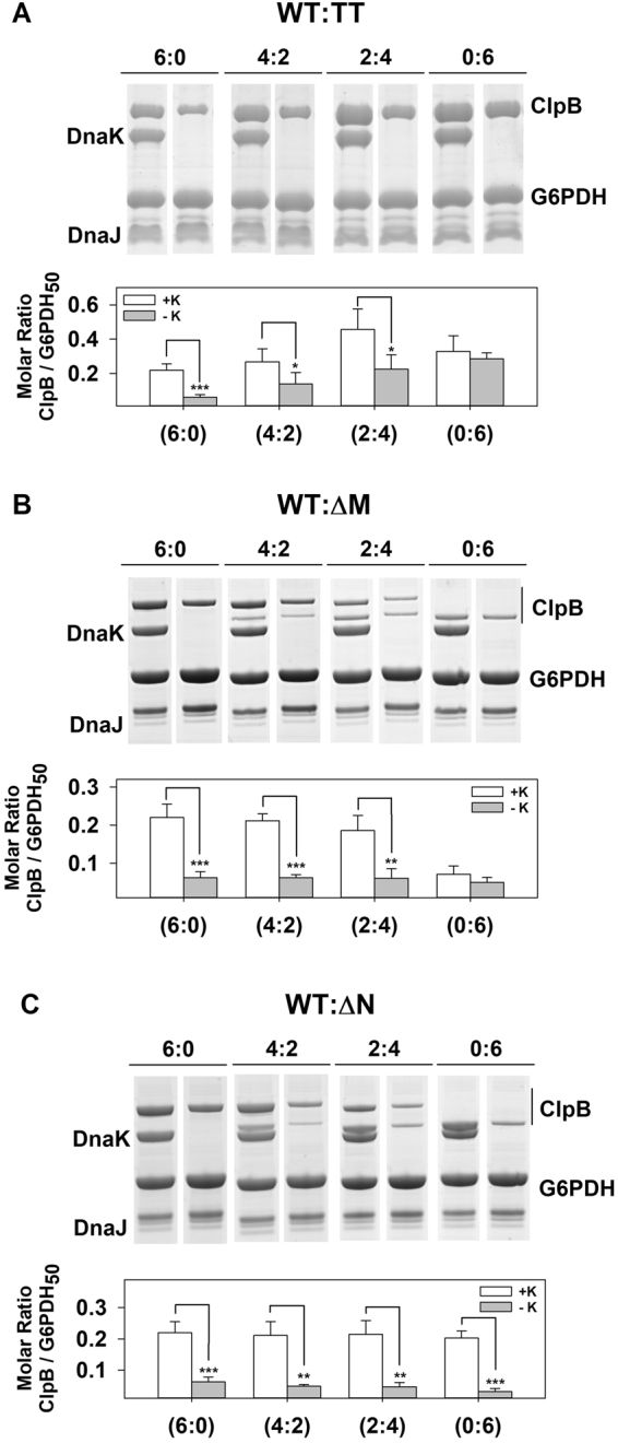 Two wt ClpB subunits ensure binding of ClpB hybrids to aggregates in a DnaK-dependent manner. Binding of ClpB heterohexamers made of wt and ( A ) ClpB TT , ( B ) ClpB ΔM , or ( C ) ClpB ΔN subunits to protein aggregates. G6PDH 50 aggregates were diluted to 1 μM in refolding buffer containing 3 mM ATP, DnaK (3.5 μM), DnaJ (0.7 μM), and 5 µM of the corresponding ClpB homo or heterohexamer. After an incubation of 10 min, samples were centrifuged to obtain the pellets containing aggregate-bound chaperones, which were analyzed by 4–12% <t>Bis-Tris</t> <t>NuPAGE</t> (upper panels) to estimate the amount of each ClpB homo and heterohexamer bound to the aggregate, using known amounts of each protein as standard (bottom panels). Data are shown as mean ± s.d. of three independent experiments (* P