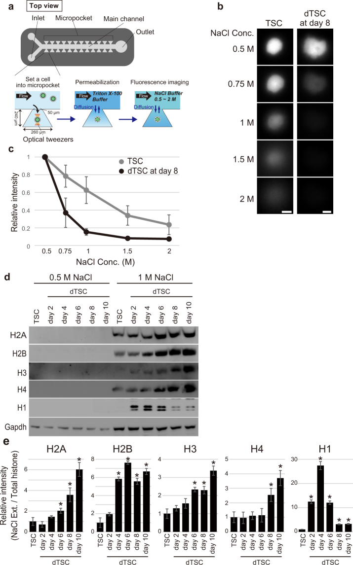 Nuclei of TGCs show decreased <t>nucleosomal</t> stability. ( a – c ) Nucleosome stability assay using a permeabilized individual cell in the microfluidic device. ( a ) Overview of the microfluidic device and experimental procedure for the nucleosome stability assay using a single cell. ( b ) Representative green fluorescence observed in H4-GFP-TSC and -dTSC at day 8 following exposure to NaCl buffer at the indicated concentrations in the micropockets. Bars = 5 μm. ( c) Measurement of fluorescence intensity of H4-GFP in TSCs and dTSCs at day 8. Fluorescence intensities were measured using the ImageJ software, and the nuclear position in each cell was determined using the genomic <t>DNA</t> image obtained after GelRed staining. Values indicate the mean ± S.D. (n = 5) and are relative to the value obtained after the 0.5 M NaCl treatment, which is arbitrarily set as 1. ( d ) Nucleosome stability assay. Each sample was extracted using a buffer containing 0.5 or 1 M NaCl. Extracted proteins equivalent to 0.5 μg of genomic DNA were subjected to 15% SDS-PAGE. ( e ) Proportion of each histone in the NaCl extract to total histone. Band intensity following western blotting of 1 M NaCl-extracted histone ( d ) was calculated and normalized to that of the corresponding band in Fig. S1 . The mean ± S.D. of three independent experiments are shown. * P
