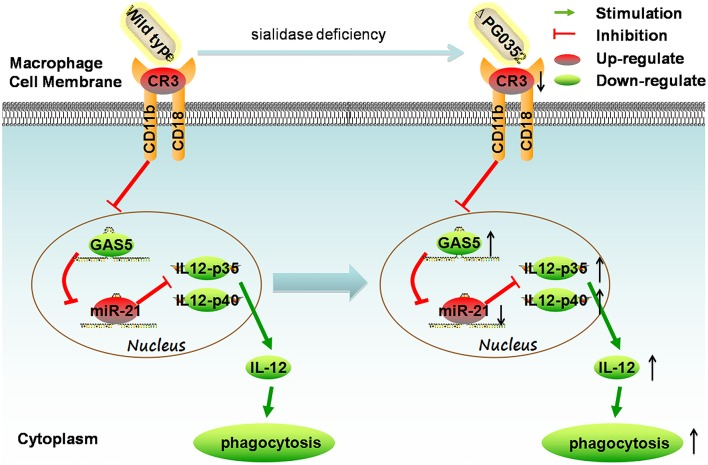 The mechanism of sialidase deficiency increasing IL-12 secretion in P. gingivalis -stimulated macrophages. P. gingivalis can activate CR3 in macrophages, inhibit the expression of lncRNA GAS5, increase the expression of miR-21, decrease the level of IL-12 and subvert phagocytosis by macrophages. The sialidase-deficiency in P. gingivalis attenuates CR3 activation in macrophages, reduces the inhibition of lncRNA GAS5 , induces less miR-21 and more IL-12 in macrophages.