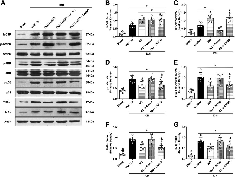 The effects of RO27-3225 and AMPK inhibitor dorsomorphin on the expression of MC4R and its downstream signaling proteins. a Representative western blot bands. b – g Quantitative analyses of MC4R, phosphorylated AMPK, phosphorylated JNK, phosphorylated p38 MAPK, TNF-α, and IL-1β in the ipsilateral hemisphere at 24 h after ICH. * p
