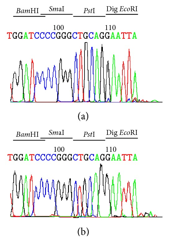 Determination of the Lra I cleavage site 5′-G/AATTC-3′ of pBluescipt SK+ by DNA sequencing. (a) Sequence of pBluescipt SK+ predigested with Lra I restriction enzyme and (b) with Eco RI obtained using M13R primer. The colour-coded sequence traces are A (green), T (red), C (blue), and G (black). The extra A base was added at the end of the cleaved template by the Taq DNA polymerase used for sequencing due to template-independent terminal nucleotide transferase activity of Taq DNA polymerase.