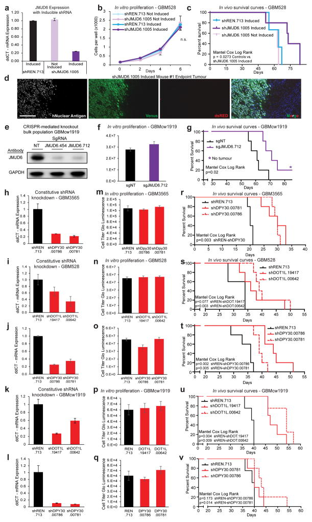 Validation of JMJD6 and other hits in multiple PDX models of glioblastoma a , JMJD6 mRNA expression by qRT-PCR after inducible shRNA knockdown of JMJD6. b , In vitro proliferation and c , in vivo survival compared to uninduced and induced non-targeting controls. Values are mean +/− s.d. of 3 technical replicates. d, Endpoint tumours harvested from the induced arm of ( c ) stained to show human tumour cells (human nuclear antigen) that harbour a JMJD6 shRNA (Venus+) or harbour and express a JMJD6 shRNA (Venus+dsRED+). The vast majority of tumour cells at endpoint had silenced the shRNA (Venus+dsRED−). Scale bar: 200 μM. e , CRISPR mediated knockout of JMJD6 in a bulk population of GBMcw1919 cells in vitro. f–g , Parallel in vitro proliferation assay ( f ) and in vivo survival assay ( g ) of cells from ( e ). h–l , Constitutive shRNA knockdown of DOT1L and DPY30 in vitro. m–v , Parallel in vitro proliferation assays ( m–q ) and in vivo survival assays ( r–v ) of cells from ( h–l ), respectively. Error bars of bar graphs +/− s.d. of at least triplicates.
