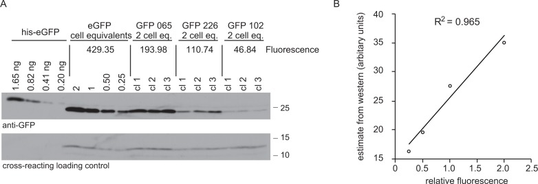 Comparison of GFP expression measured as fluorescence by flow cytometry and protein by western blotting. ( A ) Western blot of total cell lysates from cell lines expressing four different GFP transgenes and a standard curve of recombinant GFP with an N-terminal hexahistidine tag for purification. For cell lines expressing GFPs 065, 226 and 102, 2 × 10 6 cell equivalents were loading in each track and three independent clones of each cell line were used. For the cell line expressing eGFP, the loading was titred from 2 × 10 6 to 0.25 × 10 6 cell equivalents. The amount of recombinant eGFP loaded is indicated. The blot was probed with anti-GFP, then a peroxidase-conjugated donkey anti-rabbit IgG secondary and signal detected by chemiluminescence with x-ray film. The GFP fluorescence of each cell line was measured and the value is shown in arbitrary units. See supplementary file 2 for GFP sequences. ( B ) Plot of quantitation of western blot against fluorescence. The western blot was quantified using ImageJ to analyse x-ray film images and then the standard curve for quantitation. The Pearson's correlation coefficient between fluorescence and the western blot GFP estimates was calculated and r 2 = 0.965.