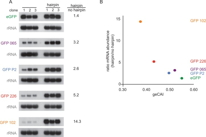 Blocking translation stabilises mRNAs with low geCAI scores more than mRNAs with high geCAI scores. ( A ) Northern blots to measure GFP mRNAs in cell lines expressing GFP with geCAI scores with or without a hairpin structure in the 5'UTR that blocked translation. Three independent clones for each transgene were analysed and GFP; mRNA was quantified by phosphorimaging and values adjusted for loading using rRNA. ( B ) Graph showing the fold increase in mRNA steady state level due to the inclusion of the hairpin in the 5'UTR plotted against the geCAI score for each ORF.