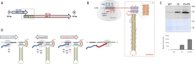 Post-transcriptional regulatory mechanisms of IS 6110 translation. ( a ) Genetic organization of IS 6110 . Overlapping ORF1 and ORF2 and the sense of transcription are indicated as blue and red arrows respectively. The scheme also shows the 28bp inverted repeats (IR) flanking both overlapping ORFs. ( b ) Mechanisms of post-transcriptional regulation of IS 6110 . The image shows an enlarged view of the region indicated with a dotted box from panel (a). The UUUUAAAG slippery sequence is indicated by a grey box. ORF1 and ORF2 as well as their coding triplets are indicated by blue and red letters according to panel (a). The RNA pseudoknot is included within a red rectangle and those regions involved in base pairing formation of secondary structures are indicated by blue, green and orange boxes. The position of the ribosome and the translated codons are also indicated. Asterisks in the pseudoknot indicate positions carrying mutations that disrupt this structure. ( c ) Expression of 3xFLAG variants of IS 6110 -WT, the transcriptionally active transposase IS 6110 -FS and the latter variant carrying mutations to disrupt pseudoknot formation IS 6110 -FS+PK. The upper and lower parts of the panel show a western-blot using and anti-FLAG antibody and a Coomassie staining which serves as loading control respectively. The right side of the panel shows the band intensity average from three independent experiments. ( d ) Post-transcriptional regulation of IS 6110 to produce a biologically active transposase. The image shows translation steps indicating the sense of ribosomal advance and the mRNA structure indicated in panel (b). Translation of the ORF1 produces the aminoacids from the N-terminus of IS 6110 (blue spheres) until it translates Ile91 and Leu92 coded by AUU and UUA triplets in the slippery region (grey box). At this position ribosome stalls probably because the presence of the downstream pseudoknot presenting a tight secondary structure. Stalling favours a -1 frameshift