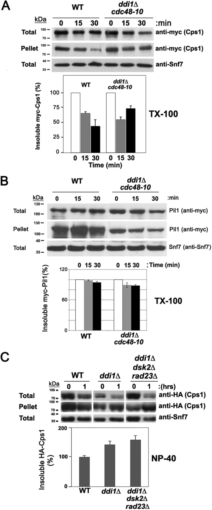 Cdc48 and the ubiquilins reduce the detergent-insoluble fraction of Cps1. (A) The detergent-insoluble fraction of Cps1 decreases substantially in WT but less so cdc48-10 ddi1Δ cells. WT and cdc48-10 ddi1Δ cells expressing endogenous myc-Cps1 from its genomic locus were subjected to a cycloheximide (CHX)-chase degradation/sedimentation assay to resolve the amount of Triton X-100 detergent-insoluble Cps1 in the pellet fraction, as described under Materials and Methods . Samples of were removed after 0, 15, and 30 min of CHX treatment before processing to determine the relative amounts of myc-Cps1 in the total, pellet, and supernatant (see Supplemental Figure S6A) fractions by Western analysis with anti-myc antibodies. Anti-Snf7 antibodies were employed to assess the levels of total protein loaded and in subsequent quantitative analyses used for normalization of the results (unlike actin, Snf7 is not degraded upon CHX treatment). The amount of insoluble Cps1 in the pellet was normalized to the loading control, after which the percentage was calculated relative to the amount at 0 h. A representative experiment is shown in the top panel. A histogram of the quantification of three repetitive experiments is shown beneath. kDa = kilodaltons. (B) The detergent-insoluble fraction of eisosome protein, Pil1, does not change in cdc48-10 ddi1Δ cells. WT and cdc48-10 ddi1Δ yeast expressing myc-Pil1 from its genomic locus were subjected to the cycloheximide-chase degradation/sedimentation assay in A to resolve the amount of Triton X-100 detergent-insoluble Pil1 by Western analysis using anti-myc antibodies as in A. A histogram of showing the results of three repetitive experiments is shown beneath. (C) The level of <t>NP-40</t> detergent-insoluble Cps1 increases in ddi1Δ and ddi1Δ dsk2Δ rad23Δ cells. WT control cells (W303), ddi1Δ , and ddi1Δ dsk2Δ rad23Δ cells expressing HA-Cps1 were subjected to the same procedure as in A, and the percentage of insoluble Cps1 in the pellet fracti