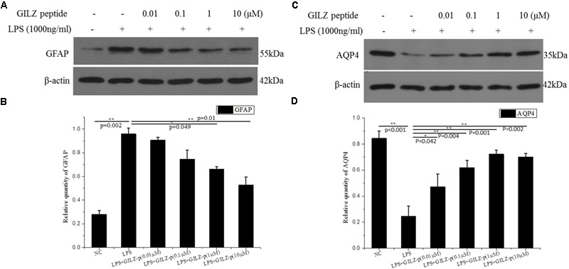 The synthesized GILZ-p inhibited LPS induced Müller cell gliosis. Western blot analysis was performed to determine the protein expression levels of glial fibrillary acidic protein (GFAP) (A,B) , and <t>AQP4</t> (C,D) in Müller cells treated with 1000 ng/ml LPS in combination with different concentrations of GILZ-p (0.01, 0.1, 1, and 10 μM) for 24 h. β-actin was used as the loading control. The results of quantitative analysis, as determined by densitometric analysis, were expressed as relative to β-actin. Data represent the mean ± SE; the Mann–Whitney U -test was used for comparisons between two groups. n = 3 for each group. ∗ P