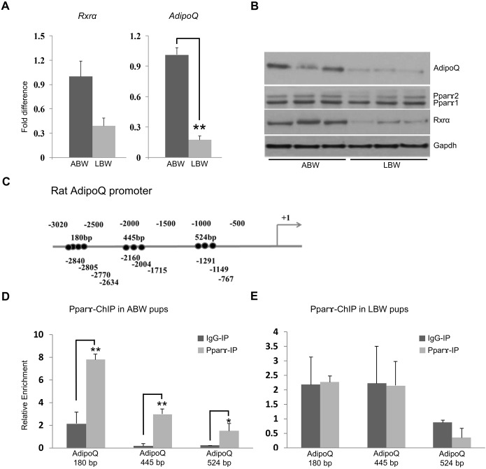 Expression of the Pparg gene and its targets are different in ABW and LBW pups. (A) qRT-PCR reveals a reduction in the expression of Rxra and AdipoQ in LBW compared to ABW pups at day 1. (B) Western blot analysis showing the reduction in the expression of Rxrα, Pparγ 1 and 2 and AdipoQ in LBW pups. (C) The rat adiponectin gene promoter showing the position of PPRE elements tested in this study (+1 is the transcription start site). (D,E) ChIP analysis of the occupancy of Pparγ in the adiponectin promoter of ABW (D) and LBW (E) pups. * P