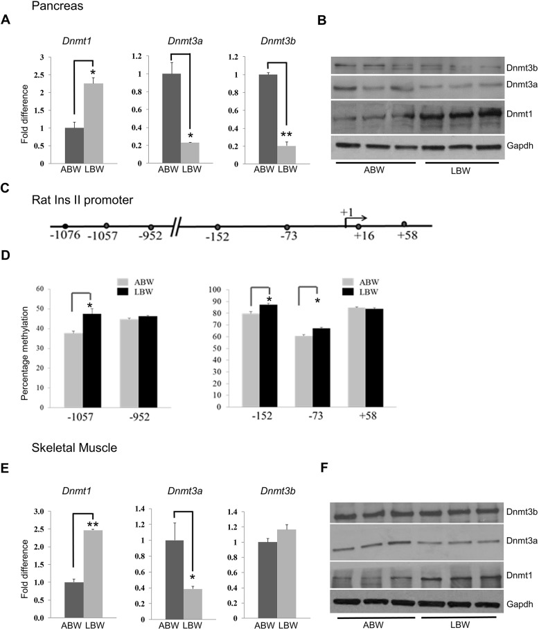 Expression of DNA methyltransferases in the pancreas and skeletal muscle, and methylation of the InsII promoter in pancreata, differ between ABW and LBW pups. (A) qRT-PCR analysis of the expression of DNA methyltransferases Dnmt1 , Dmnt3a and Dnmt3b in the pancreas of ABW and LBW pups at day 1. (B) Western blot analysis of the expression of DNA methyltransferases reveal an increase in the expression of Dnmt1, but a decrease in Dnmt3a and Dnmt3b expression, in the pancreas of LBW pups. (C) The rat InsII promoter depicting the position of CPGs analyzed with the Sequenom mass array system. (D) Percentage methylation of CpGs analyzed by the Sequenom microarray system in ABW and LBW pups. (E) qRT-PCR analyses showing differences in the expression of DNA methyltransferases Dnmt1 , Dnmt3a and Dnmt3b in skeletal muscle of ABW and LBW pups. Expression of Dnmt1 is increased, expression of Dnmt3a is decreased, and the expression of Dnmt3b remains unaltered in the two groups. (F) Western blot analyses of the expression of DNA methyltransferases Dnmt1, Dnmt3a and Dnmt3b reveal an increase in Dnmt1 but a decrease in Dnmt3a, without any significant change in the expression of Dnmt3b, in LBW pups. * P