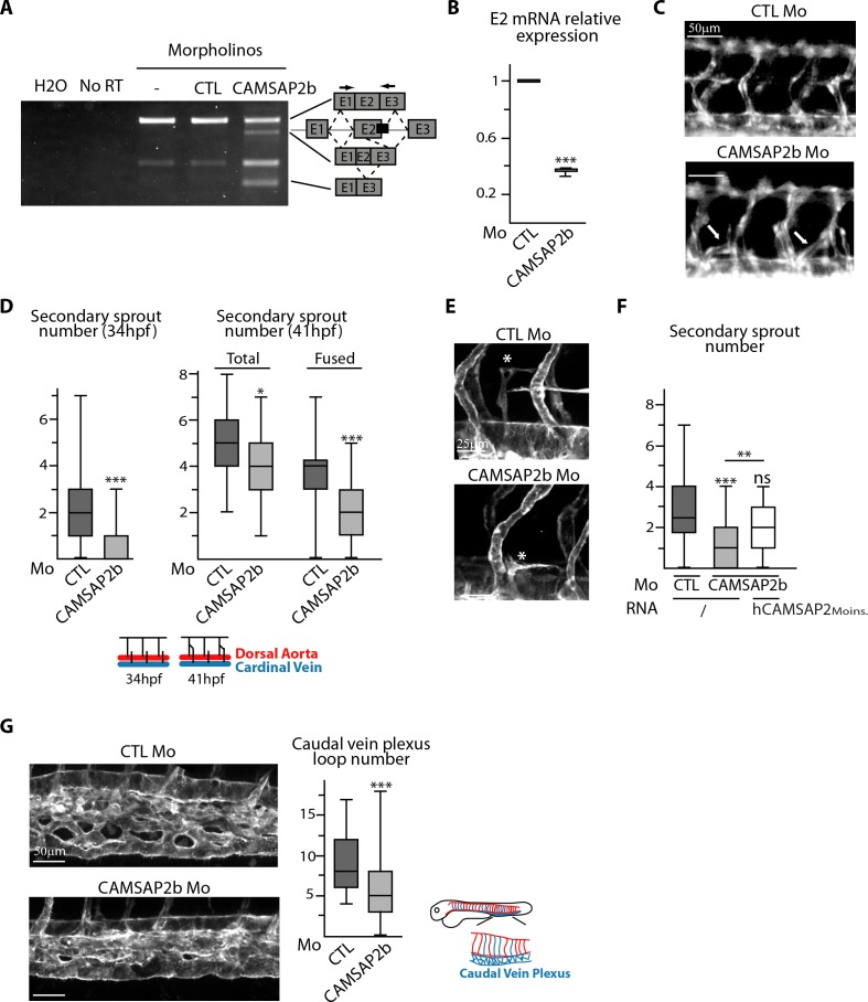 <t>CAMSAP2</t> plays a role in sprouting angiogenesis in vivo. ( A ) <t>RT-PCR</t> analysis of Tg(fli1a:eGFP) embryos injected with a splice-blocking morpholino targeting the exon2/intron2 boundary in Camsap2b (black box), a control or no morpholino (-) with primers (arrows) allowing amplification of distinct spliced species. A shorter amplicon is expected if exon2 is skipped or partially deleted. The same amplification was done with no cDNA (H 2 O) or with samples that were not treated with reverse transcriptase (NoRT). ( B ) qPCR analysis of CAMSAP2b exon2 mRNA expression in embryos injected with control or CAMSAP2b morpholinos; results are expressed relative to the control after normalization to ELFA housekeeping gene, n = 3 different primer pairs used in triplicate. ( C ) Live images of 48 hpf Tg(fli1a:eGFP) embryos injected with control or CAMSAP2b morpholinos showing the trunk vasculature; arrows point to abnormal venous sprouts. ( D ) Quantification of the number of secondary sprouts in control or CAMSAP2b-inactivated embryos at 34 hpf, n = 64 and 56 embryos in three independent experiments. and at 41 hpf, n = 42 and 41 embryos in two independent experiments. At 41 hpf, the secondary sprouts that have fused with the neighboring primary intersegmental vessel were distinguished among the total secondary sprouts. ( E ) Live confocal images (Z-maximum projections) of 48 hpf Tg(Fli1ep:Lifeact-EGFP) embryos injected with control or CAMSAP2b morpholinos; asterisks show venous sprouts forming parachordal lymphangioblast in control and CAMSAP2b morphant embryo. ( F ) Quantification of the number of secondary sprouts at 36 hpf in embryos injected with control or CAMSAP2b morpholinos, or co-injected with CAMSAP2b morpholinos and RNA coding for a morpholino-insensitive mutant of human CAMSAP2, n = 42, 42 and 30 embryos in two independent experiments. ( G ) Live confocal images (Z-maximum projections) of 48 hpf Tg(Fli1ep:Lifeact-EGFP) embryos injected with control or CAMS