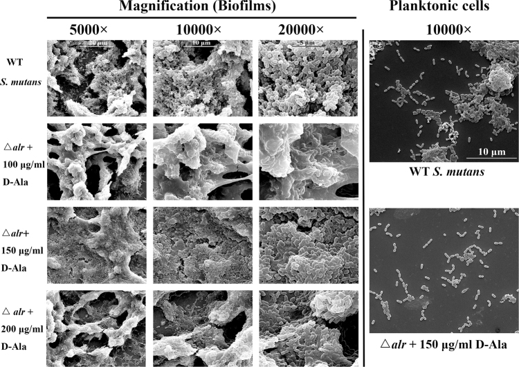Scanning electron microscopy images of biofilms and planktonic cell morphology. Biofilm images were obtained at 5000×, 10000× and 20000×. Planktonic cell images were obtained at 10000×.