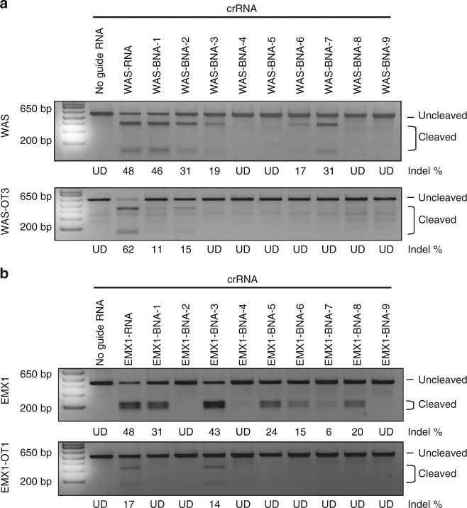 BNA NC incorporation increases Cas9 specificity in cells. Gel showing relative cellular cleavage efficiencies of the unmodified, and 9 BNA NC -modified crRNAs targeting a WAS or b EMX1 on-target (top) or off-target (bottom) sequences, as determined by T7 endonuclease I digestion. Mock transfections lacking guide RNA were used as controls. Modification frequencies were determined using densitometry (ImageJ) and are indicated below each lane. Lanes in which no cleavage products were observed are marked as undetected (UD)