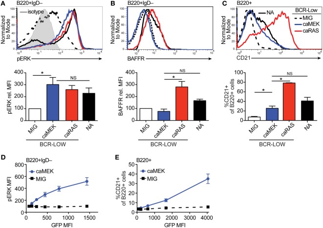 Extracellular signal-regulated kinase (ERK) activation drives differentiation of BCR-low immature B cells in vitro . (A,B) Representative histograms and bar graph quantification of pERK (A) and BAFFR (B) in bone marrow immature (B220 + IgD – ) B cells cultured for 4 days with IL-7. The cells analyzed were either nonautoreactive (NA) (3-83Igi,H-2 d ) BCR normal cells (NA, black solid line) or BCR-low cells transduced with MIG (black dashed line), caMEK (blue line), or caNRas (red line). The analysis of transduced cells was performed on GFP + cells in all experiments. Staining of pERK was done on cells treated with pervanadate to allow for pERK signal detection. The gray shaded histogram in (A) represents isotype control antibody. (C) Representative histograms and bar graph quantification of the frequency of CD21 + cells in the B220 + B cell population after 3 days of culture with BAFF. (D,E) BCR-low B cells transduced with either caMEK (blue) or MIG control (black) were gated based on increasing GFP expression, which correlates with caMEK expression in caMEK transduced cells. The pERK MFI (D) or the frequency of CD21 + cells (E) were plotted against the GFP MFI of the individual segments. In all panels, N = 3 total, from three independent experiments. * P ≤ 0.05; NS, not significant.