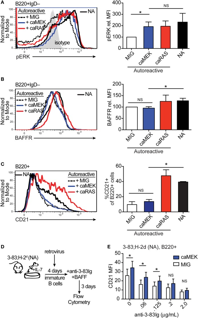 Extracellular signal-regulated kinase (ERK) activation drives the differentiation of low-avidity, but not high-avidity autoreactive B cells in vitro . (A,B) Representative histograms and bar graph quantification of phospho-ERK (pERK) (A) and BAFFR (B) in bone marrow immature B cells (B220 + IgD – ) cultured for 4 days with IL-7. The B cells analyzed were either non-transduced nonautoreactive (NA) (3-83Igi,H-2 d ) cells (black solid line) or autoreactive (3-83Igi,H-2 b ) cells transduced with MIG control (black dashed line), caMEK (blue line), or caNRas (red line) retroviral vectors. Transduced cells were gated on GFP + for analyses. Staining of pERK (in A) was done on cells treated with pervanadate. The gray shaded histogram in (A) represents isotype control antibody. (C) Representative histograms and bar graph quantification of the frequency of CD21 + cells in the B220 + B cell population after 3 days of culture with BAFF. (D) Schematic of the system utilized to investigate the effect of caMEK on the in vitro differentiation of immature B cells cultured with increasing amounts of BCR stimulation. 3-83Igi,H-2 d bone marrow cells were cultured with IL-7 for 4 days and transduced with retrovirus carrying either caMEK or MIG on the second day of culture. Cells were then incubated with BAFF and increasing amounts of an agonistic anti-3-83Ig idiotypic mAb (S23), this latter added each day during a 3 days culture. (E) CD21 expression (MFI) on B cells treated as described in (D) : caMEK-GFP, blue bars and MIG, white bars. In all panels, N = 3 total, from three independent experiments. * P ≤ 0.05; NS, not significant.