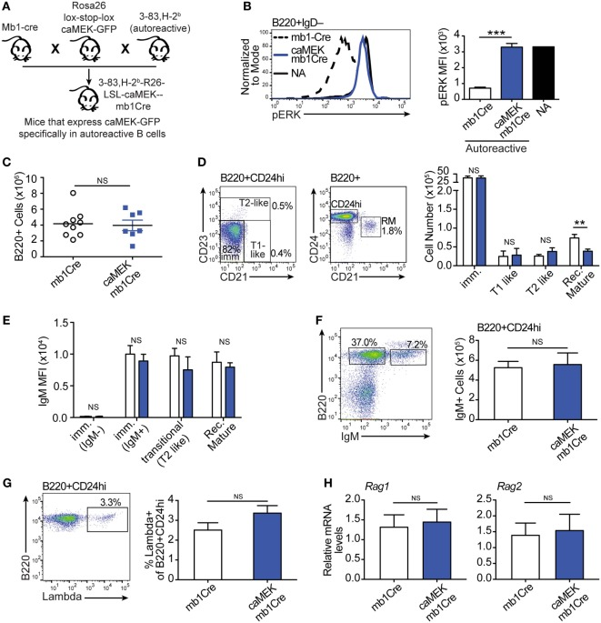 Constitutive extracellular signal-regulated kinase (ERK) activation does not rescue the in vivo development of autoreactive bone marrow B cells. (A) Schematic of the in vivo model for caMEK expression in autoreactive B cells. (B) Representative histograms and bar graph quantification of pERK levels in ex vivo immature B cells (B220 + IgD – ) from the bone marrow of NA (3-83Igi,H-2 d ) mice and autoreactive (3-83Igi,H-2 b ) mb1Cre or R26-LSL-caMEK-GFP-mb1Cre (caMEK-mb1Cre) mice. Cells were treated with pervanadate before pERK staining. (C) Absolute numbers of B220 + cells in the bone marrow of 3-83Igi,H-2 b mb1Cre and R26-LSL-caMEK-GFP-mb1Cre mice. (D) Gating strategy and bar graph quantification of cell numbers in bone marrow B cell populations from 3-83Igi,H-2 b mb1Cre and R26-LSL-caMEK-GFP-mb1Cre mice. B cell subsets were discriminated as: immature B cells (B220 + CD24 hi CD21 – CD23 – ), T1-like B cells (B220 + CD24 hi CD21 + CD23 – ), T2-like B cells (B220 + CD24 hi CD21 ± CD23 + ), and recirculating mature B cells (B220 + CD24 lo CD21 hi ). (E) Mean fluorescence intensity of IgM surface expression on B cells belonging to the B cell subsets gated as in (D) . (F) Gating strategy and quantification of the number of IgM + (edited) and IgM – (editing) cells within the bone marrow immature (B220 + CD24 hi ) B cell population from 3-83Igi,H-2 b mb1Cre and R26-LSL-caMEK-GFP-mb1Cre mice. (G) Gating strategy and quantification of the percentage of λ+ cells within immature (B220 + CD24 hi ) bone marrow B cells from 3-83Igi,H-2 b mb1Cre and R26-LSL-caMEK-GFP-mb1Cre mice. For panels (A–F) , N = 9 total 3-83Igi,H-2 b -mb1Cre mice and N = 7 total 3-83Igi,H-2 b -R26-LSL-caMEK-GFP-mb1Cre mice, analyzed in four independent experiments. (H) Relative Rag1 and Rag2 mRNA levels in B220 + or B220 + GFP + cells sorted from the bone marrow of 3-83Igi,H-2 b -mb1Cre or 3-83Igi,H-2 b -R26-LSL-caMEK-GFP-mb1Cre mice, respectively. Data were normalized to 18 s mRNA levels and are expressed a
