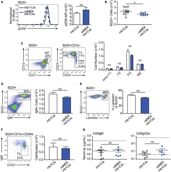 Constitutive extracellular signal-regulated kinase (ERK) activation does not break the central or peripheral tolerance of autoreactive 3-83Ig + B cells in vivo . (A) Representative histograms and bar graph quantification of phospho-ERK (pERK) levels in ex vivo B220 + B cells from the spleen of autoreactive 3-83Igi,H-2 b mb1Cre and R26-LSL-caMEK-GFP-mb1Cre mice. Cells were treated with pervanadate before pERK staining. (B) Absolute number of B220 + cells in the spleens of 3-83Igi,H-2 b mb1Cre and R26-LSL-caMEK-GFP-mb1Cre mice. (C) Gating strategy and bar graph quantification of splenic B cell populations from 3-83Igi,H-2 b mb1Cre and R26-LSL-caMEK-GFP-mb1Cre mice. B cell subsets were discriminated as: immature/transitional 1 B cells (B220 + CD1d – CD24 hi CD23 – ), transitional 2 B cells (B220 + CD1d – CD24 hi CD23 + ), follicular B cells (B220 + CD1d – CD24 lo CD23 + ), and marginal zone B cells (B220 + CD1d + CD21 hi ). (D) Gating strategy and quantification of IgM + B cell numbers from the spleens of 3-83Igi,H-2 b mb1Cre and R26-LSL-caMEK-GFP-mb1Cre mice. (E) Gating strategy and quantification of the percentage of λ + cells within B220 + B cells from the spleen of 3-83Igi-H-2 b mb1Cre and R26-LSL-caMEK-GFP-mb1Cre mice. For panels (A–E) , N = 9 total 3-83Igi,H-2 b -mb1Cre mice, and N = 7 total 3-83Igi,H-2 b -R26-LSL-caMEK-GFP-mb1Cre mice, analyzed in four independent experiments. (F) Gating strategy and quantification of T3 B cell numbers (CD23 + IgM lo ) within the transitional B cell population (B220 + CD1d – CD24 hi ) from the spleen of 3-83Igi,H-2 b mb1Cre and R26-LSL-caMEK-GFP-mb1Cre mice. In panels (A–F) , B cells from 3-83Igi,H-2 b R26-LSL-caMEK-GFP-mb1Cre mice were additionally gated on GFP + to analyze only the cells expressing caMEK. (G) Concentration (μg/mL) of 3-83IgM and 3-83IgG2a in the sera of 3-83Igi,H-2 b -mb1Cre controls ( N = 7) and 3-83Igi,H-2 b -R26-LSL-caMEK-GFP-mb1Cre mice ( N = 5). The bottom dotted lines represent background detection level