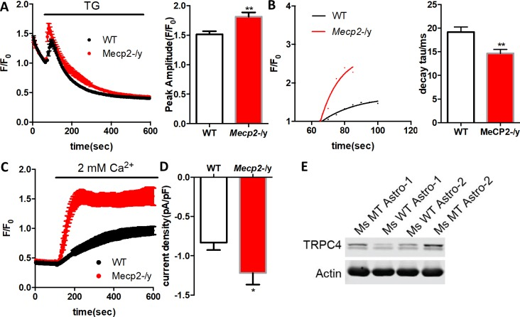 Mecp2 -/y astrocytes display abnormal ER Ca 2+ load, Ca 2+ leakage, store operated Ca 2+ entry, and TRPC4 expression. ( A ) Left, average traces of Fluo4 fluorescence changes in wild type and Mecp2 -/y astrocytes treated with 1 μM TG to release ER calcium. Ca 2+ -free aCSF (0 mM Ca 2+ plus 2 mM EGTA) was used; right, quantification of the peak amplitude of F/F 0 in response to TG. p=0.001. ( B ) Left, the rise phase (dots) shown in ( a ) is fitted with a single exponential curve; right, the time constant of the rise phase from Mecp2 -/y astrocytes in response to TG was smaller than that from wild type cells. p=0.004. ( C ) The average trace of Fluo4 fluorescence changes in response to 2 mM aCSF after depletion of ER Ca 2+ store by TG. ( D ) The quantification of ML204 sensitive current from wild type and Mecp2 -/y astrocytes at −70 mV, illustrating higher TRPC4 mediated current in Mecp2 -/y astrocytes. p=0.04. 9–38 WT and 10–39 Mecp2 null astrocytes were included in these analyses. ( E ) Western blot analysis showing increased level of TRPC4 protein in both mouse and human mutant astrocytes. The bar graphs in this figure show the mean ±s.e.m. *p