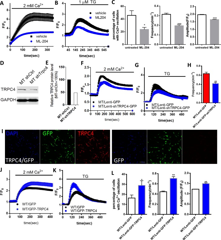 The role of TRPC4 in regulating calcium homeostasis in astrocytes. ( A ) Extracellular Ca 2+ -induced Fluo4 fluorescence changes after TG-induced ER Ca 2+ depletion in Mecp2 -/y astrocytes in the absence (control) or presence of ML204. ( B ) Average traces of TG-induced Fluo4 fluorescence changes in Mecp2 -/y astrocytes with or without 24 hr of ML204 treatment. ( C ) Quantification of percentage (left) of astrocytes showing spontaneous Ca 2+ oscillation and the frequency (middle) and amplitude (right) of such oscillation with or without 24 hr of ML204 treatment. ( D ) TRPC4 Western blot result showing decreased expression level of TRPC4 in mutant RTT human astrocytes after infected with lentivirus-shTrpc4-GFP, compared with astrocytes infected with lentivirus-GFP. ( E ) Quantification of the TRPC4 Western blot result. ( F ) Average traces of extracellular Ca 2+ (2 mM)-induced Rhod-2 fluorescence changes from mutant RTT astrocytes infected with lentivirus expressing either shTRPC4/GFP or GFP alone, after depletion of ER Ca 2+ store by TG pre-treatment. ( G ) Average traces of TG-induced Rhod-2 fluorescence changes from mutant RTT astrocytes infected with lentivirus expressing either shTRPC4/GFP or GFP alone. ( H ) Quantification of the frequency of spontaneous Ca 2+ elevations from mutant RTT astrocytes infected with lentivirus expressing either shTRPC4/GFP or GFP alone. ( I ) Representative images of wild type human RTT astrocytes infected with lentivirus co-expressing TRPC4 and GFP (left) or with lentivirus expressing GFP alone (right). Note anti-TRPC4 immunoreactivity is higher in astrocytes infected with lenti-GFP/TRPC4 than in those infected with lenti-GFP. Scale bar = 50 μm. ( J ) Average traces of extracellular Ca 2+ (2 mM)-induced Rhod-2 fluorescence changes from wild type astrocytes infected with lentivirus expressing either GFP/TRPC4 or GFP alone, after depletion of ER Ca 2+ store by TG pre-treatment. ( K ) Average traces of TG-induced Rhod-2 fluorescence c