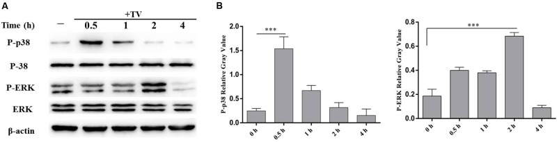 Trichomonas vaginalis activates p38 and ERK signal pathways in WT mouse peritoneal macrophages. WT macrophages were co-incubated with T. vaginalis for different times (0, 0.5, 1, 2, and 4 h), phosphorylation of p38 and ERK were detected by western blot (A) . Relative Gray analysis of western blot (B) . The phosphorylated of p38 (at 0.5 h) and ERK (at 2 h) were observed obviously. Data are expressed as the mean ± SD from three separate experiments ( ∗ p