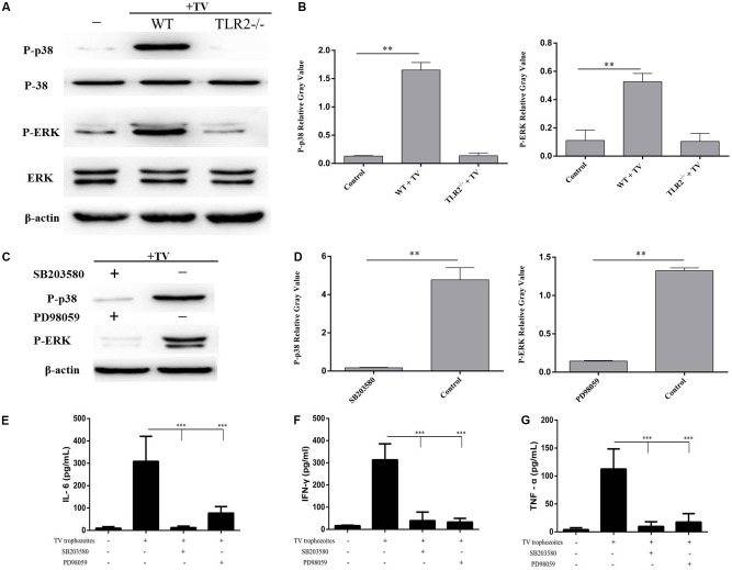 Trichomonas vaginalis induces cytokines production regulated by p38 and ERK via TLR2. Phosphorylationof p38 and ERK in TLR2 -/- mouse peritoneal macrophages were significantly reduced after co-incubated with T. vaginalis for 0.5 h (p38) or 2 h (ERK) compared to in WT mouse peritoneal macrophages (A) . Inhibitors of p38 (SB203580; 30 μM) or ERK (PD98059; 40 μM) were used to pretreated WT mouse peritoneal macrophages for 1 h before co-incubated by T. vaginalis . Phosphorylation of p38 and ERK in SB203580 and PD98059 pre-treated WT macrophages (C) . Relative Gray analysis of western blot (B,D) . The production of IL-6, TNF-α, and IFN-γ induced by T. vaginalis were significantly inhibited by the inhibitors compared to in WT mouse peritoneal macrophages (E–G) . Data are expressed as the mean ± SD from three separate experiments ( ∗ p