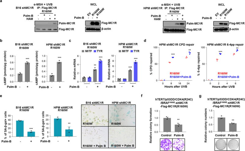 Palm-B rescues the defect of MC1R R160W variant (a) B16 and HPMs with stable depletion of MC1R by shRNA were infected with the indicated Flag-MC1R encoding retroviral constructs. Cells were pre-treated with 1 μM α-MSH and 1 μM Palm-B for 30 min followed by 100 J/m 2 UVB irradiation. Cells were harvested for IP, ABE and IB analysis at 3 h after UVB exposure. (b) B16 and HPMs with stable depletion of MC1R by shRNA were infected with the indicated Flag-MC1R encoding retroviral constructs. Cells were pre-treated with 1 μM α-MSH and 1 μM Palm-B for 30 min followed by 100 J/m 2 UVB irradiation. After 3 h, cells were harvested for cAMP immunoassay. These data were compiled from three independent experiments. Data are represented as mean ± SD. (c) B16 and HPMs with stable depletion of MC1R by shRNA were infected with the indicated Flag-MC1R encoding retroviral constructs. Cells were pre-treated with 1 μM α-MSH and 1 μM Palm-B for 30 min followed by 100 J/m 2 UVB irradiation. After 3 h, total RNA was collected for reverse transcription and cDNA then used for qRT-PCR by specific primers targeting mouse and/or human MITF or TYR. Three independent experiments were quantified. Data are represented as mean ± SD. (d) HPMs with stable depletion of MC1R by shRNA were infected with the indicated Flag-MC1R encoding retroviral constructs. Cells were pre-treated with 1 μM α-MSH and 1 μM Palm-B for 30 min followed by 100 J/m 2 UVB irradiation. Genomic DNA were extracted at the different time points indicated and photoproducts were detected by ELISA using anti-cyclobutane pyrimidine dimer (CPD) or 6–4 pyrimidine photoproduct (6–4PP) antibodies. Three independent experiments were measured and calculated as mean ± SD. (e) B16 and HPMs with stable depletion of MC1R by shRNA were infected with the indicated Flag-MC1R encoding retroviral constructs. Cells were pre-treated with 1 μM α-MSH and 1 μM Palm-B for 30 min followed by 25 J/m 2 UVB irradiation. Cells were subjected to SA-β-gal staining 
