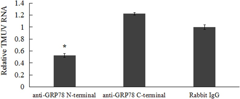 Anti-GRP78 antibody inhibits TMUV infection in BHK-21 cells. BHK-21 cells were pre-incubated with 100 μg/ml rabbit IgG, anti-GRP78 N-terminal or anti-GRP78 C-terminal antibodies at 4°C or 1 h followed by TMUV infection. The level of TMUV RNA in rabbit IgG incubated cells was taken as 1 for determining the relative RNA levels. The viral RNA was compared to those in rabbit IgG incubated cells. Data were presented from three independent experiments and statistic analysis was done with SPSS software. The asterisk designates statistically significant differences ( p