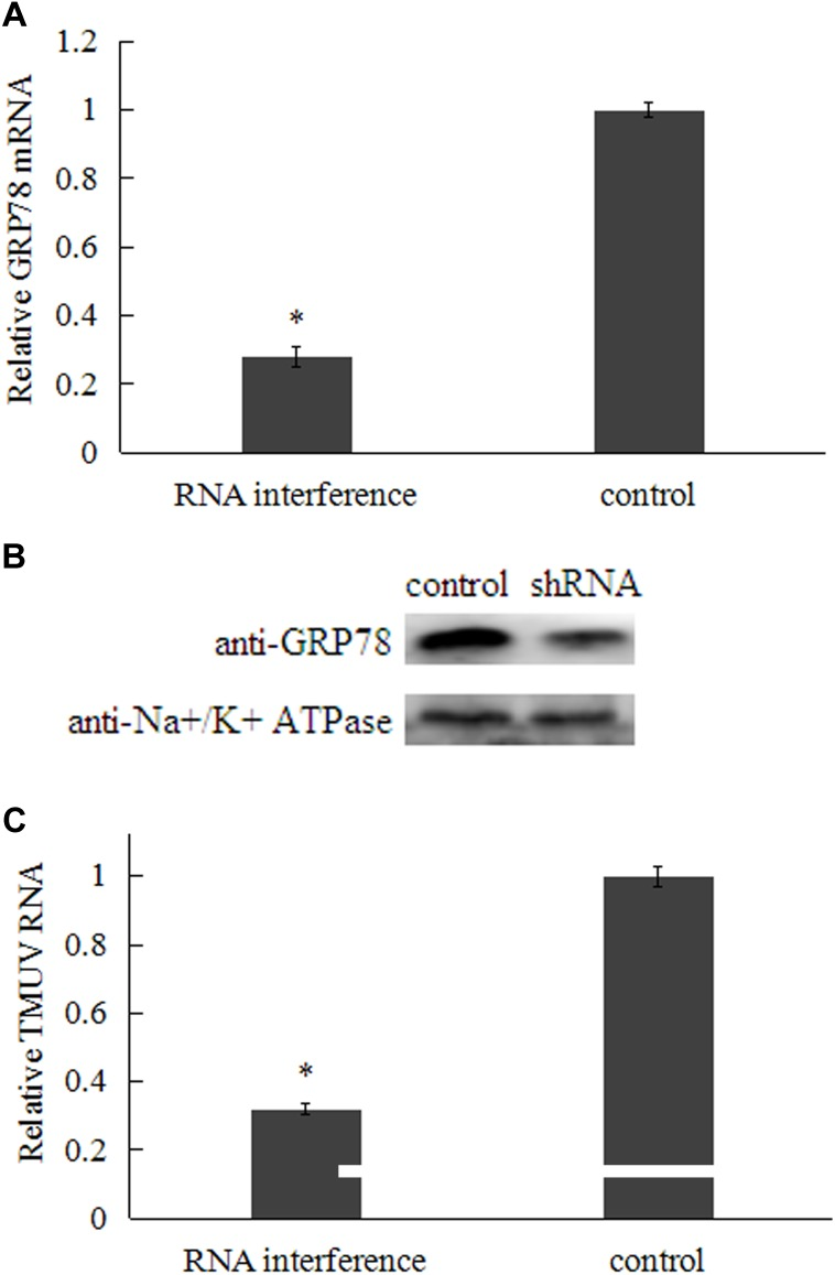 Effect of GRP78 shRNA transfection on TMUV entry at 48 h post-transfection. (A) Relative GRP78 mRNA level in transfected BHK-21 cells. (B) Analysis of surface-expressed GRP78 protein in transfected BHK-21 cells by western blot (Na+/K+ ATPase was chosen as plasma membrane marker). (C) Relative TMUV RNA were detected by qRT-PCR. Data were presented from three independent experiments and the asterisk designates statistically significant differences ( p