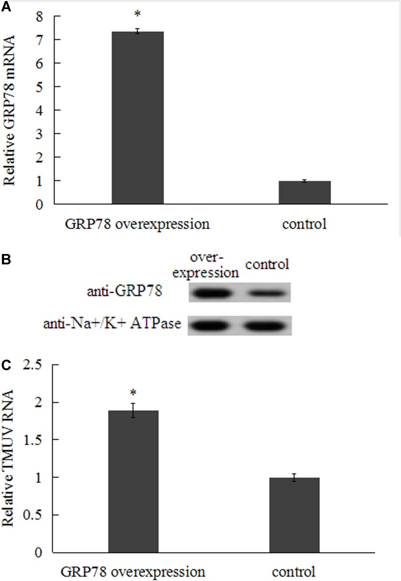 Effect of over-expression of GRP78 on TMUV entry at 48 h post-transfection. (A) qRT-PCR analysis of over-expression of GRP78 in transfected BHK-21 cells. (B) Surface-expressed GRP78 protein was determined by western blot (Na+/K+ ATPase was chosen as plasma membrane marker). (C) The TMUV entry in BHK-21 cells transfected with GRP78-pcDNA was measured by qRT-PCR. Data were presented from three independent experiments and the asterisk designates statistically significant differences ( p